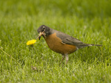American Robin with an Earthworm in its Bill (Turdus Migratorius), North America Stampa fotografica di Tom Walker