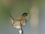 Marsh Wren (Cistothorus Palustris) Photographic Print by Robert Servranckx