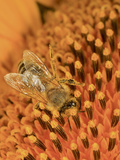 Honey Bee Covered in Pollen as it Harvests the Nectar from a Sunflower Photographic Print by Eric Tourneret