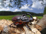 Rhinoceros Beetle (Oryctes Nasicornis), Germany Photographic Print by Solvin Zankl