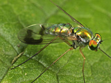 Long-Legged Fly, Order Diptera, Family Dolichopodidae, New Hampshire, USA Photographic Print by David Wrobel