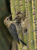 Gila Woodpecker (Melanerpes Uropygialis) Pair at a Nest Hole in a Saguaro Cactus, Arizona, USA Photographic Print by Dave Watts