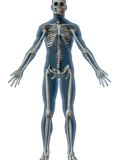 Human Male Figure Showing Skeleton Photographic Print by Carol & Mike Werner