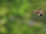 Honey Bee Mating Photographic Print by Eric Tourneret