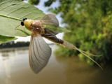 After Landing on Tisza River Bank the Male Long-Tailed Mayfly Starts to Undergoes its Last Molt Photographic Print by Solvin Zankle