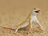 Shovel-Snouted Lizard or Namib Sanddiver (Aporosaura Anchietae) on a Namib Desert Sand Dune Photographic Print by Solvin Zankl