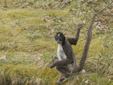 White-Bellied Spider Monkey (Ateles Belzebuth), Captive Photographic Print by Dave Watts