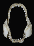 Jaws of a Great White Shark (Carcharodon Carcharias) Fotografisk tryk af Andy Murch