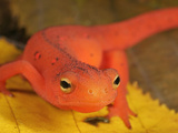 Red Eft Head (Notophthalmus Viridescens), the Terrestrial Phase of the Eastern Newt, Eastern USA Photographic Print by David Wrobel