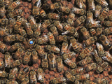 A Queen Honey Bee Marked 34 in Blue by the Beekeeper Is Laying Eggs Surrounded by Her Retinue Photographic Print by Eric Tourneret