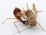 The Hunting Technique of the Jumping Ant (Harpegnathos Saltator) Photographic Print by Alex Wild