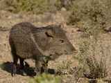 Javelina or Collared Peccary (Peccary Angulatus), Arizona, USA Photographic Print by Dave Watts