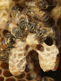 The Nurse Bees Attend to Two Queen Honey Bee Cells Photographic Print by Eric Tourneret