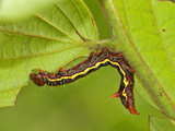 Notonodid Caterpillar Eating, Ecuador Photographic Print by Leroy Simon