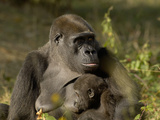 Western Lowland Gorilla (Gorilla Gorilla Gorilla) Mother Breastfeeding Young, Captive Photographic Print by Dave Watts