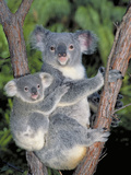 Koala (Phascolarctos Cinereus) Mother and Baby, Victoria, Australia Photographic Print by Dave Watts
