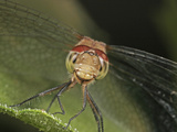 Dragonfly (Libellula), Order Odonata, Family Libellulidae, New Hampshire, USA Photographic Print by David Wrobel