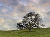 Lone Oak Tree, Lafayette, California, USA Photographic Print by Patrick Smith