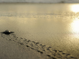 An Olive Ridley Sea Turtle Hatchling (Lepidochelys Olivacea) on its Way to the Sea Photographic Print by Solvin Zankl