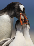 Gentoo Penguin (Pygoscelis Papua) Parent Returning from a Successful Foraging Trip Photographic Print by Solvin Zankl