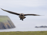 Skua in Flight (Catharacta Antarctica), Fair Isle, Scotland Photographic Print by Arthur Morris