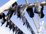 Hunted Narwhal Whale Meat Hung to Dry in the Midnight Sun at Qeqertat, Near Qaanaq Photographic Print by Louise Murray