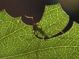 Leafcutter Ant Cutting a Leaf (Atta Cephalotes) Photographic Print by Alex Wild