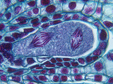 Lily Meiosis Showing the Second Division of Anaphase in the Embryo Sac (Lilium), LM X150 Photographic Print by  Biodisc