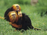 Golden-Head Lion Tamarin (Leontopithecus Chrysomelas) Female and Young, Captive Photographic Print by Dave Watts
