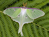 Luna Moth (Actias Luna), Vermont, USA Photographic Print by Gustav Verderber