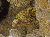 Lichen Moray (Gymnothorax Hubbsi), Family Muraenidae, Caribbean Lmina fotogrfica por David Wrobel