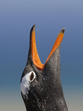Gentoo Penguin Head Close Up Calling (Pygoscelis Papua), Falkland Islands Photographic Print by Solvin Zankl