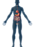 Human Male Figure Showing the Endocrine System Photographic Print by Carol & Mike Werner