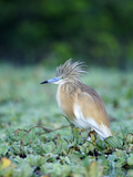 Squacco Heron with Crest Feathers Raised (Ardeola Ralloides), Kenya Photographic Print by Arthur Morris