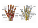 Illustration of the Anatomy of the Hand Giclee Print by  Nucleus Medical Art