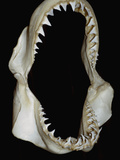 Jaws of a Great White Shark (Carcharodon Carcharias) Photographic Print by Andy Murch