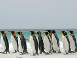 King Penguins (Aptenodytes Patagonicus) Walking Along a Sandy Beach, Falkland Islands Photographic Print by Solvin Zankl