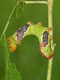 Silkmoth Caterpillar, Fifth Instar (Titaea Lemoulti), Ecuador Photographic Print by Leroy Simon