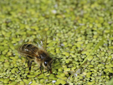 Supported by Duckweed on a Pond (Lemna) Honey Bee Fills its Crop to Carry Water Back to the Hive Photographic Print by Eric Tourneret