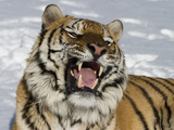 Siberian Tiger (Panthera Tigris Altaica) in Snow, Captive Photographic Print by Dave Watts