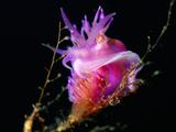 Nudibranch (Flabellina Pedata) Mediterranean Sea, San Pietro Island, Sardinia Photographic Print by Solvin Zankl