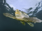 Olive Ridley Sea Turtle (Lepidochelys Olivacea) Swimming, Costa Rica Photographic Print by Solvin Zankl