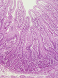Human Jejunum Section of the Small Intestine Showing Villi and Crypts Photographic Print by Gladden Willis