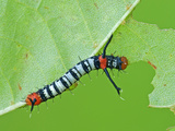 Silkmoth Caterpillar, First Instar (Titaea Lemoulti), Ecuador Photographic Print by Leroy Simon