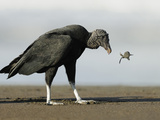 Black Vulture Feeding on an Olive Ridley Sea Turtle Hatchling Photographie par Solvin Zankl