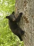 Black Bear (Ursus Americanus) Cub Climbing a Tree, North America Photographie par Tom Walker