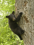 Black Bear (Ursus Americanus) Cub Climbing a Tree, North America Photographic Print by Tom Walker