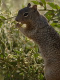 Rock Squirrel (Spermophilus Variegatus), Arizona, USA Photographic Print by Dave Watts