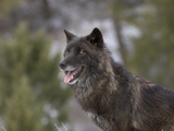 Gray Wolf Head, Dark Color Phase (Canis Lupus) Photographic Print by Dave Watts