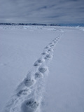 Polar Bear Tracks (Ursus Maritimus) in the Snow Photographic Print by Louise Murray
